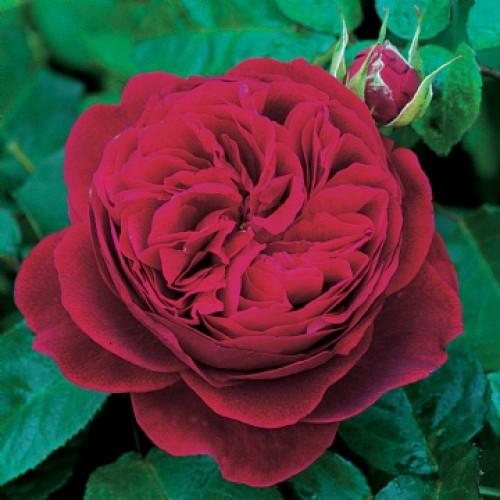 Роза L D Braithwaite