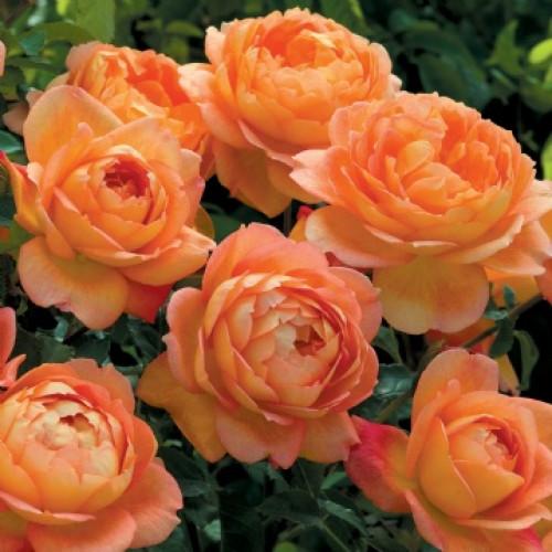 Роза Lady Of Shalott
