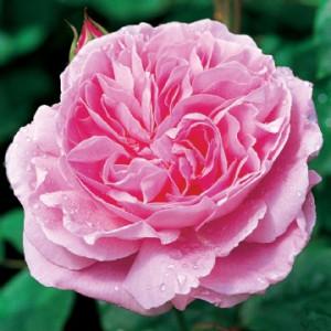 Роза Mary Rose Налична след 02.11.2020