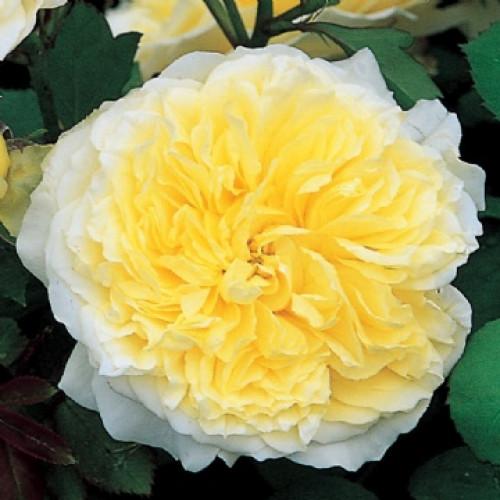 Роза The Pilgrim