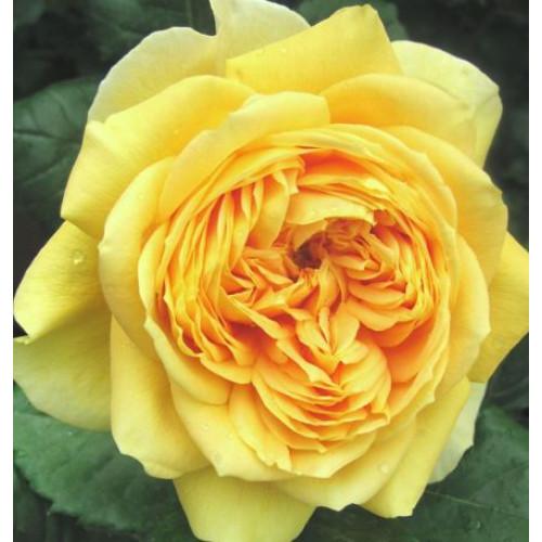 Rose 100 Idees Jardin