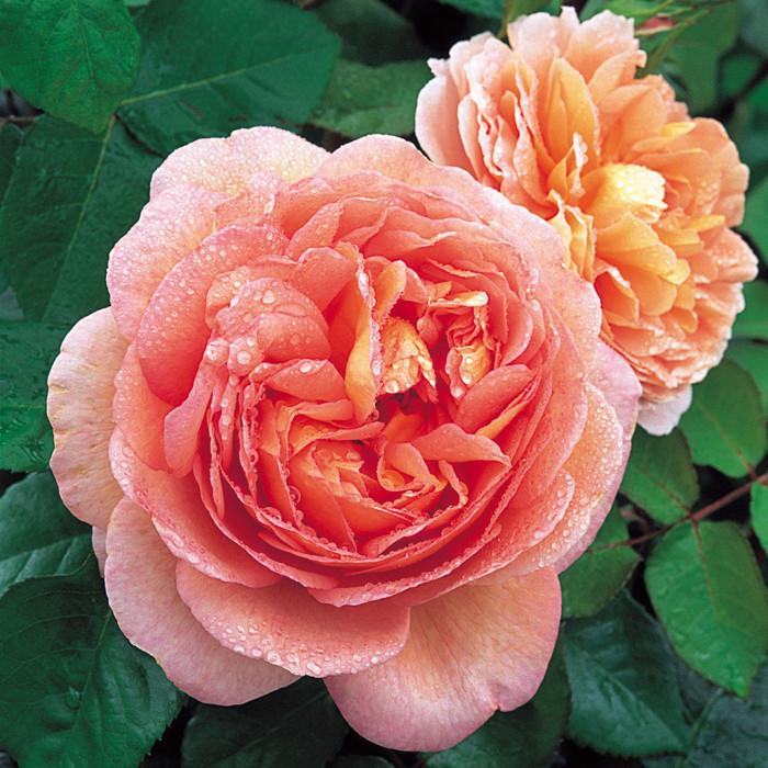 Роза Abraham Darby