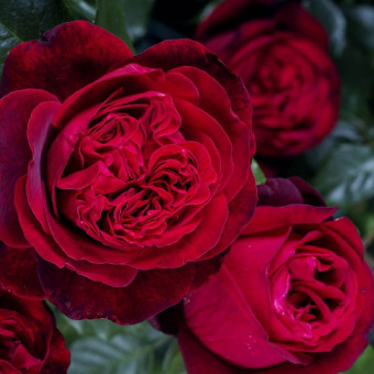 Роза Admiral