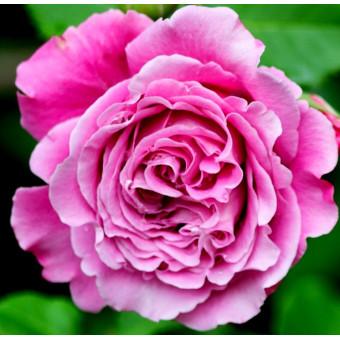Роза Agnes Schilliger