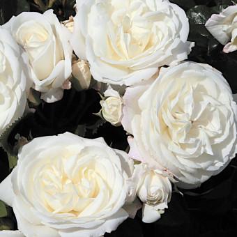 Роза Alabaster