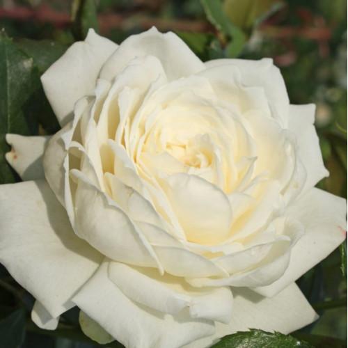 Роза Alaska