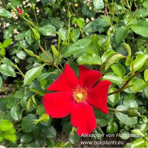 Rose Alexander von Humboldt