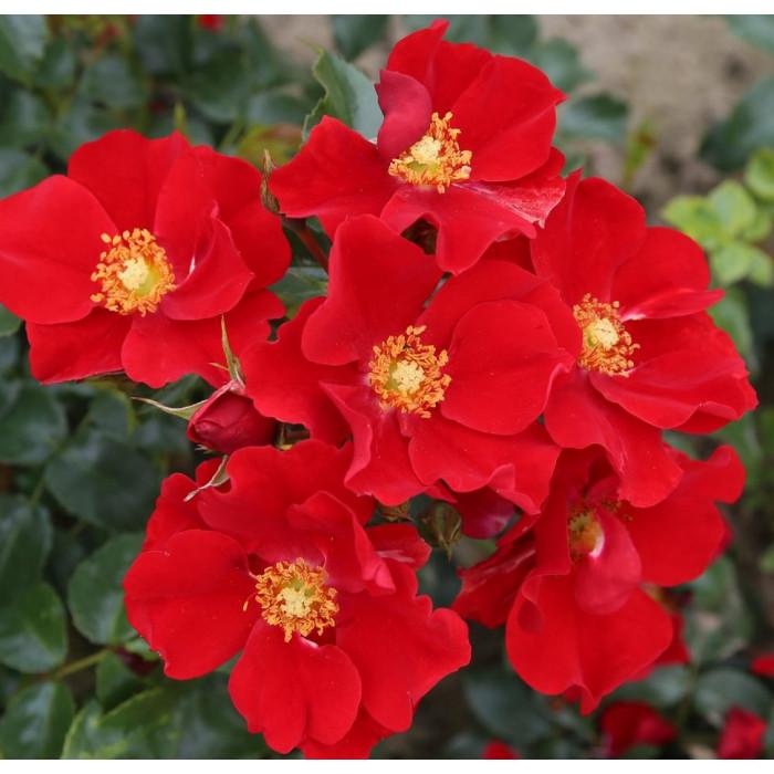 Роза Alexander von Humboldt