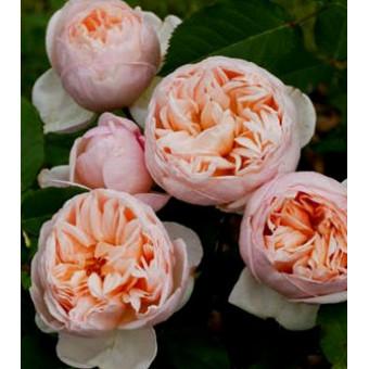 Роза Belle Romantica(Alexandrine)