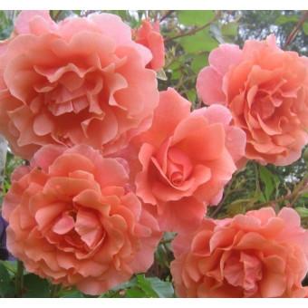 Роза Alibaba