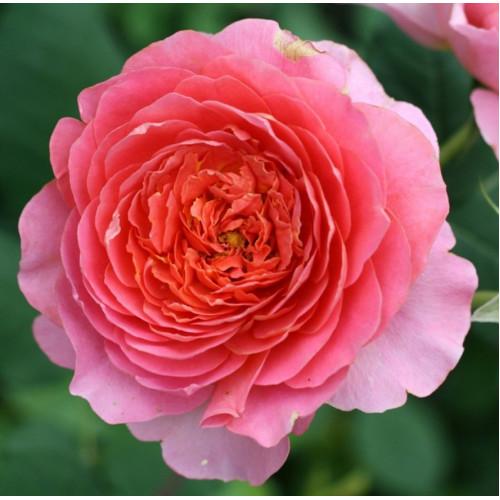 Роза Amandine Chanel