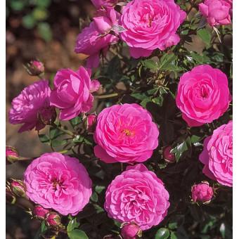 Роза Amulett