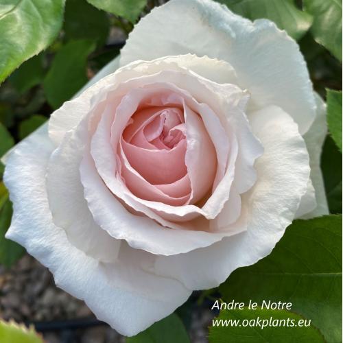 Rose Andre le Notre