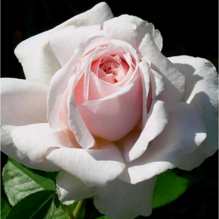 Роза Andre le Notre