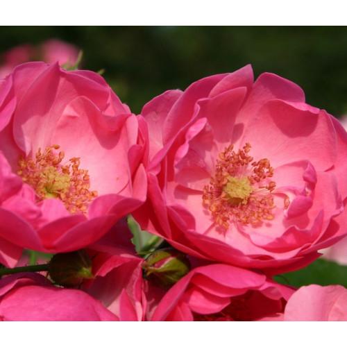 Роза Angela