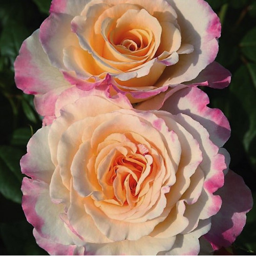 Роза Aquarell