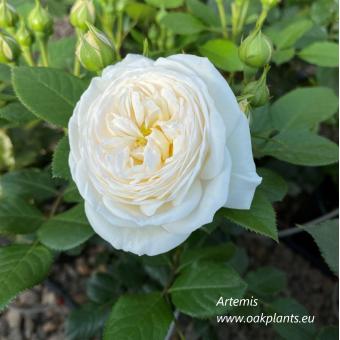 Роза Artemis