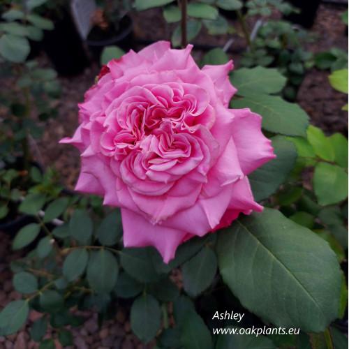 Rose Ashley