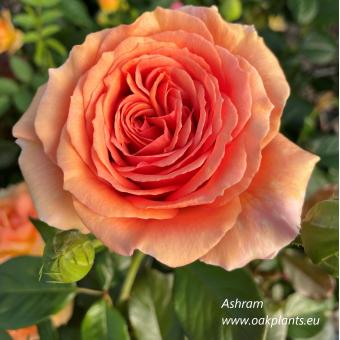 Роза Ashram