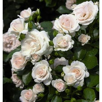 Роза Aspirin Rose