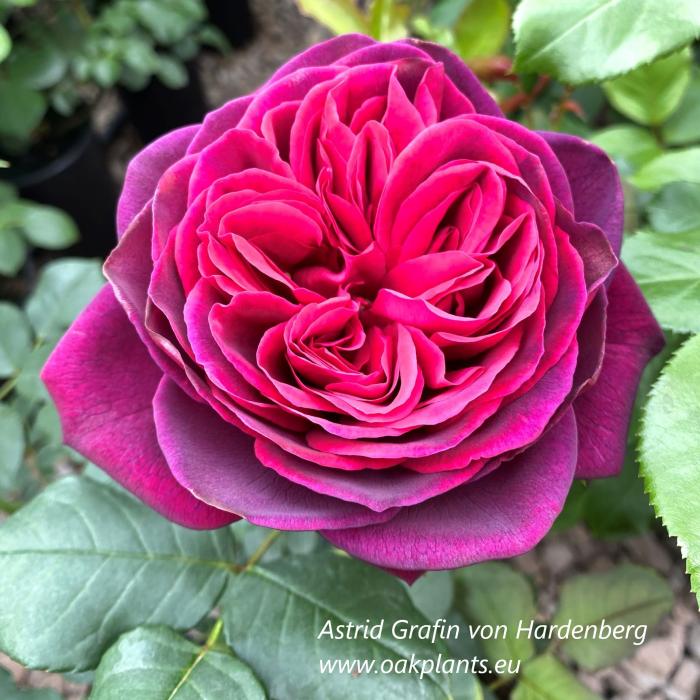 Роза Astrid Gräfin von Hardenberg