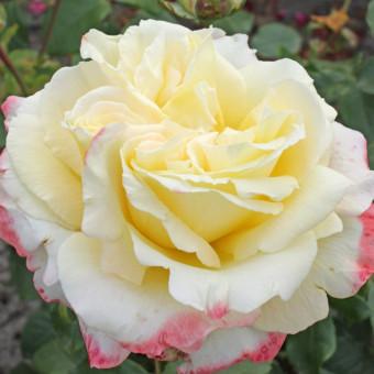Роза Athena