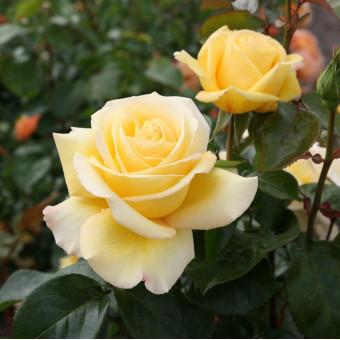 Роза Avec Amour
