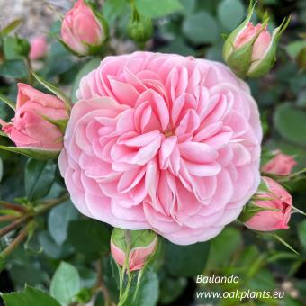 Роза Bailando