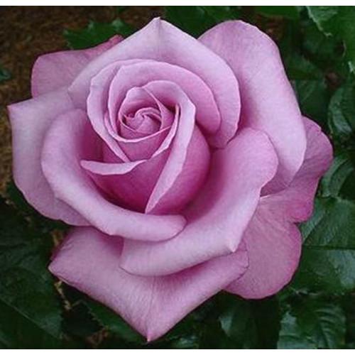 Роза Barbra Streisand