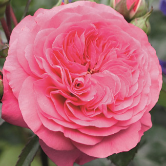 Роза Baronesse