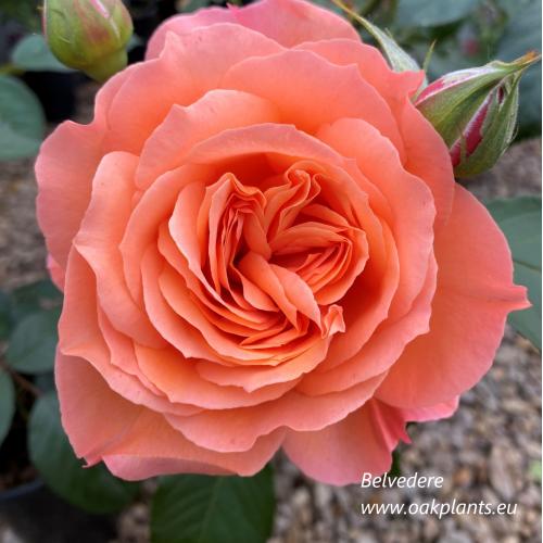 Роза Belvedere
