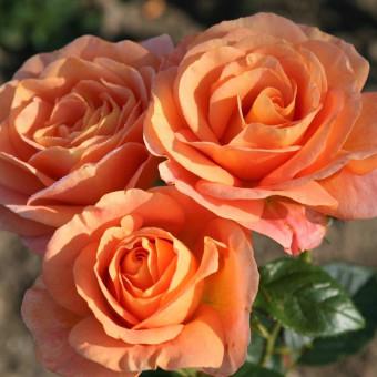 Роза Bengali