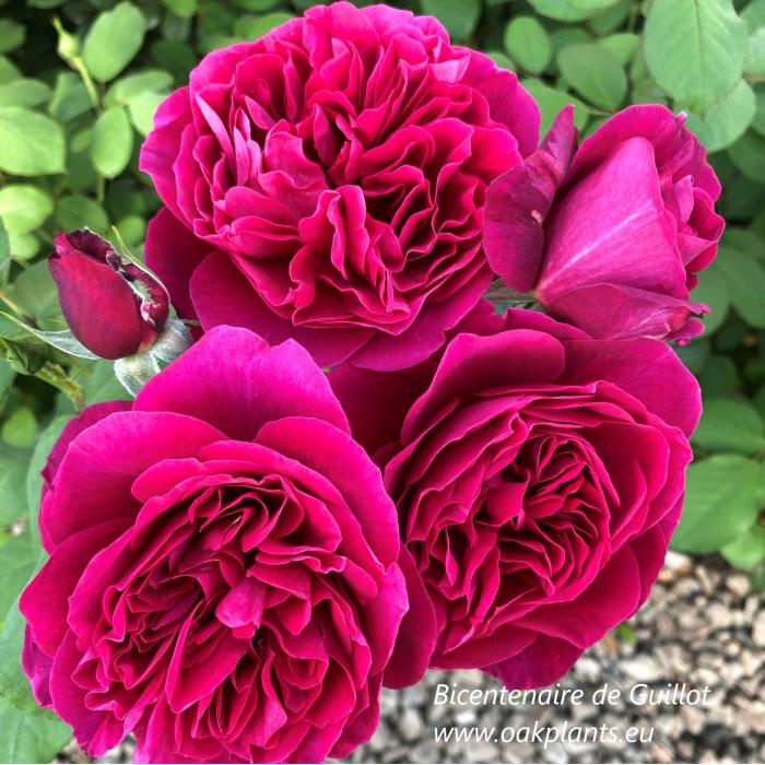 Роза Bicentenaire de Guillot