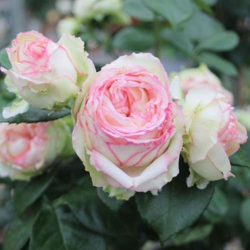 Роза Bidermeier Garden
