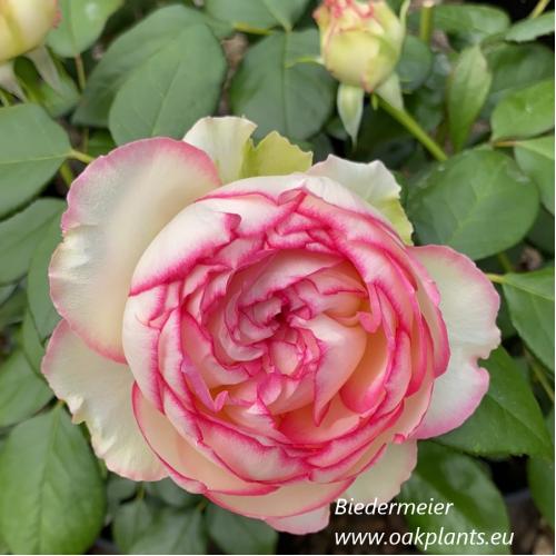 Rose Biedermeier