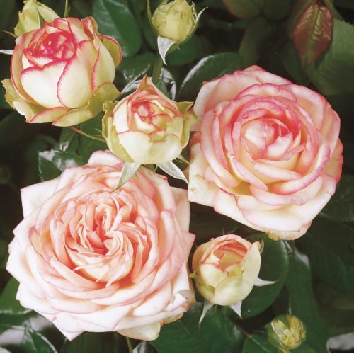 Patio Roses / Miniature