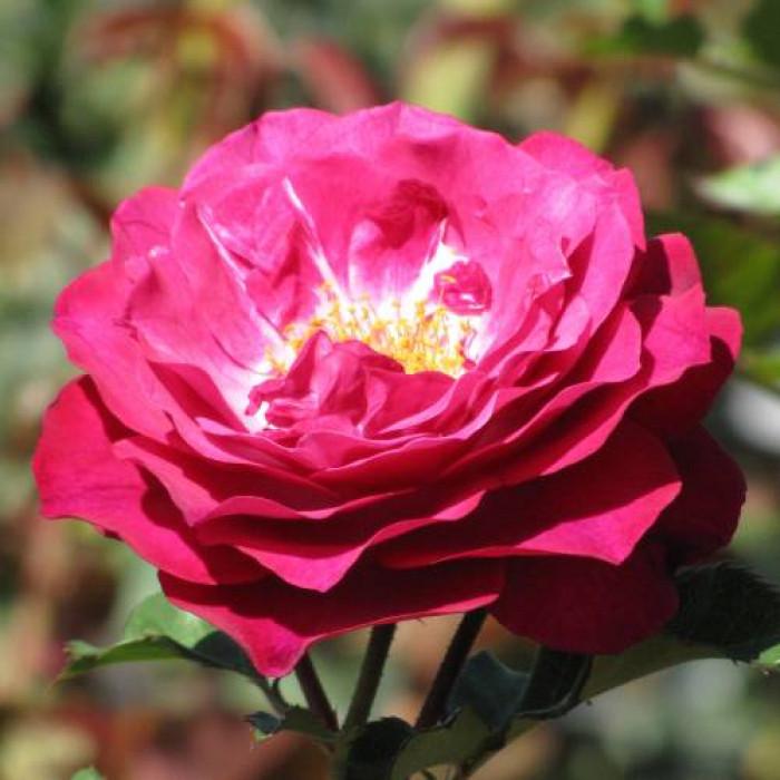 Роза Blue Eden