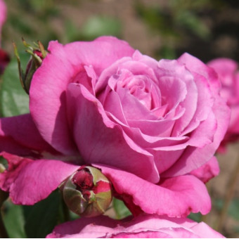 Роза Blue Parfum