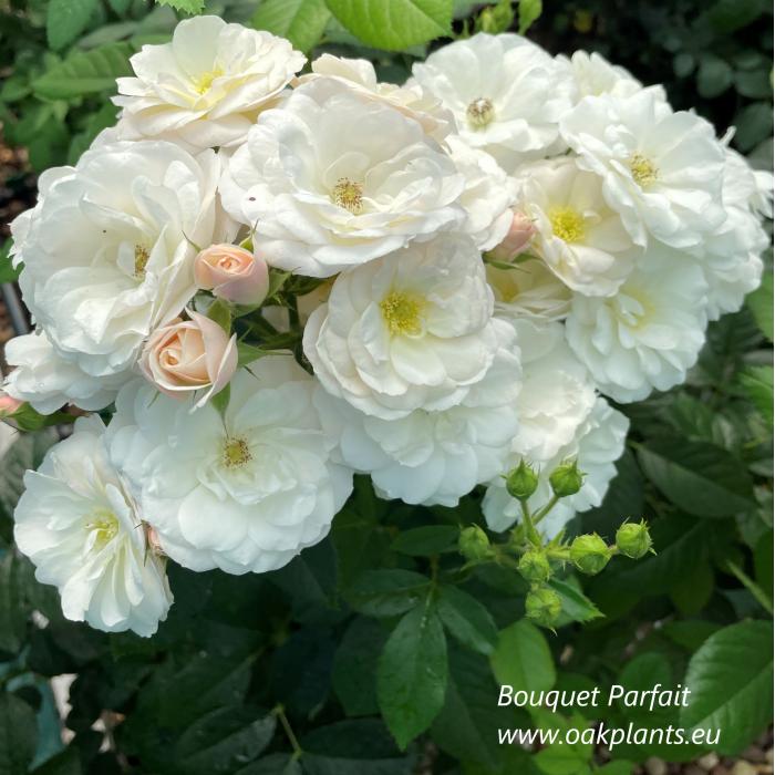 Роза Bouquet Parfait
