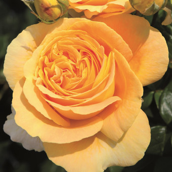 Роза Candlelight