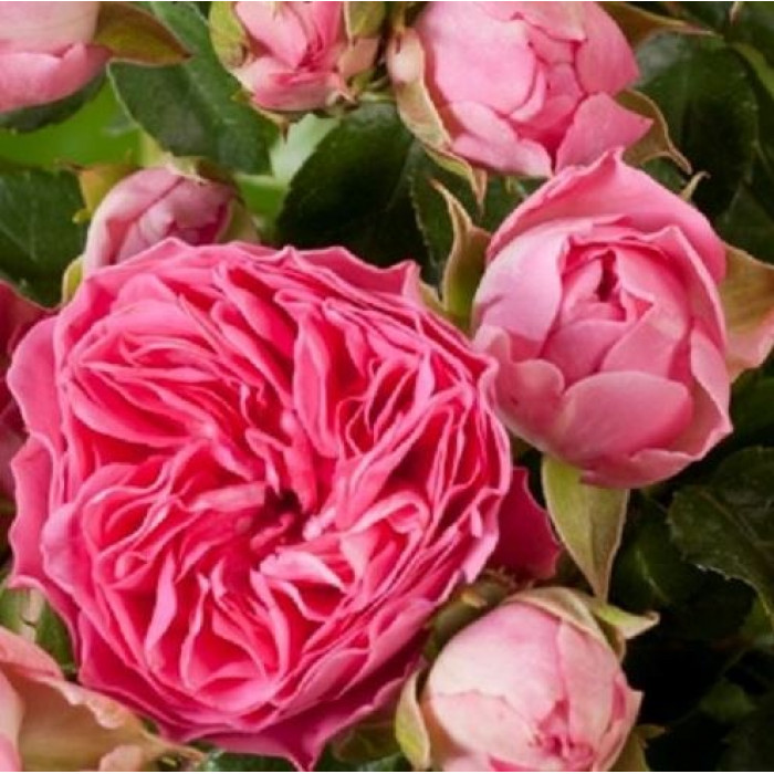 Роза Candy Rokoko
