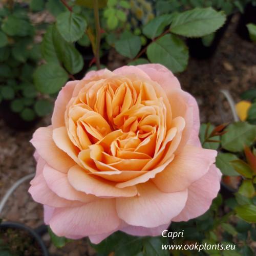 Rose Capri