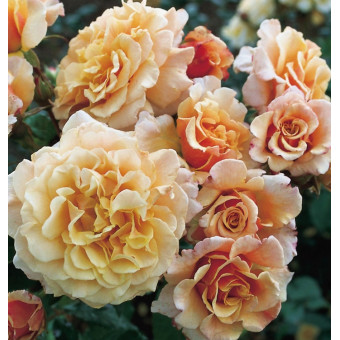 Rose Caramella