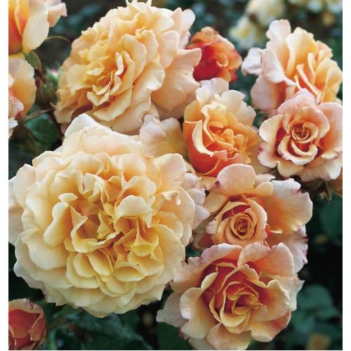 Роза Caramella