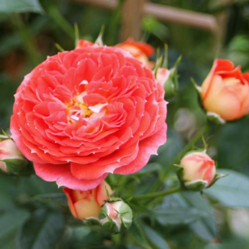 Роза Carmen