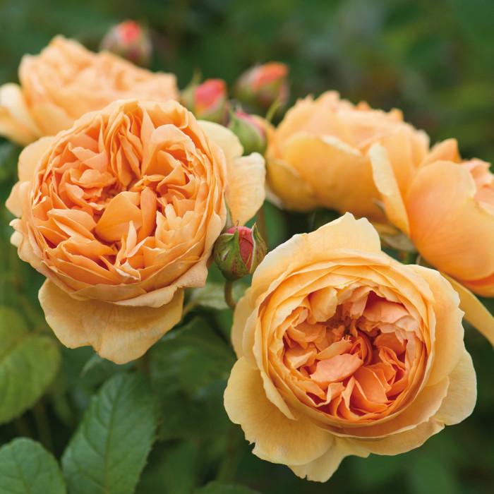 Роза Carolyn Knight