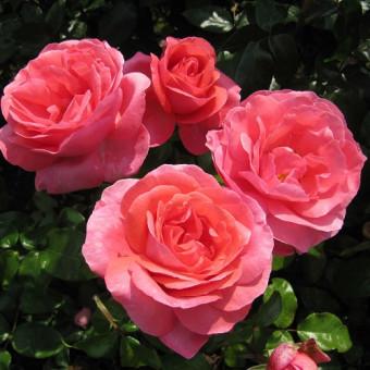 Роза Special Anniversary