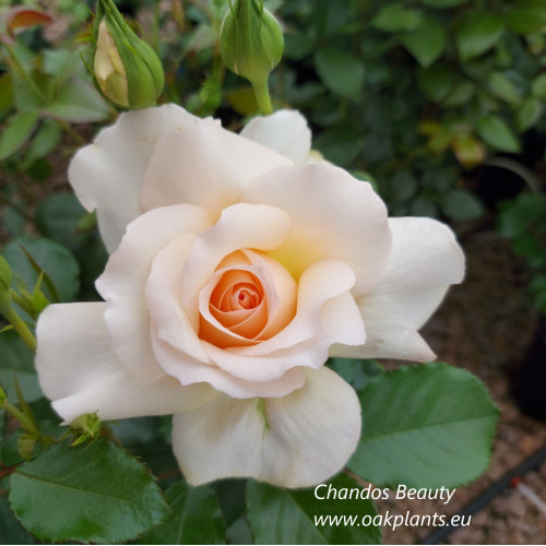Rose Chandos Beauty