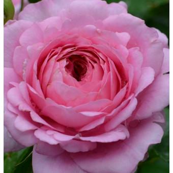 Роза Chantal Merieux