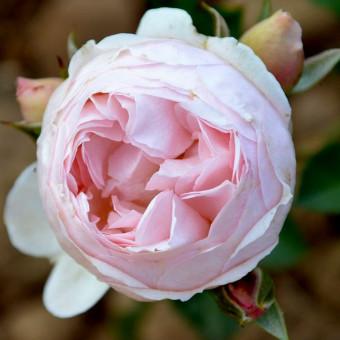 Роза Chantal Thomas